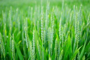 wheat-1117267_1280