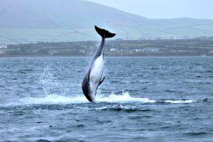dingle-dauphin